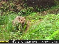 고양이과 마지막 맹수 삵, 태안해안국립공원 내 실체 최초 확인