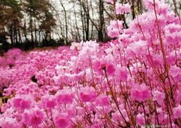 진달래로 맞이하는 설레는 봄