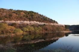 산수 좋고 공기 맑은 아남마을에 벚꽃이 활짝