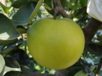 '초록배' 그린시스(국산긴품종) 보급