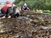 [포토뉴스] 서해의 하와이 태안 가의도, 자연산 돌미역 첫 수확!