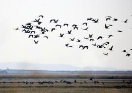 서산시, 천수만을 통한 천연기념물 흑두루미 북상