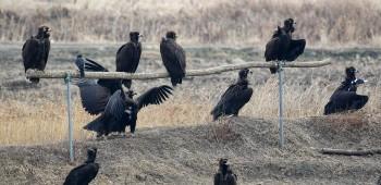 천수만에 노랑부리저어새, 독수리, 황새 등 안착